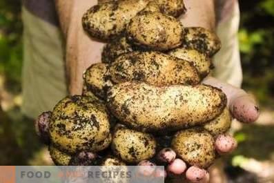 Картофи: ползи и вреди за организма