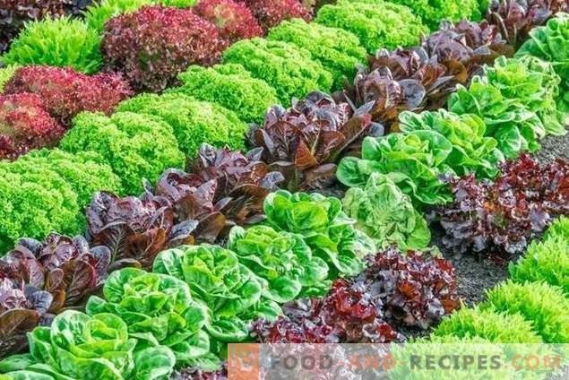 Сортове марули за отглеждане през пролетта, лятото и есента